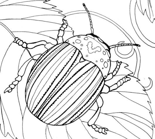 CPIT-Potato Beetle-TR.jpg