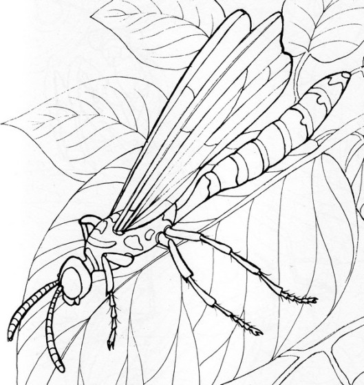 CPIT-5 banded Tiphiid Wasp-TR.jpg