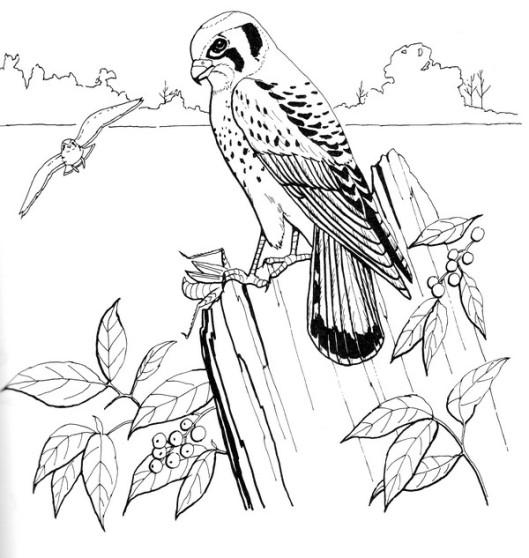 CPBD-Sparrow Hawk-TR.jpg