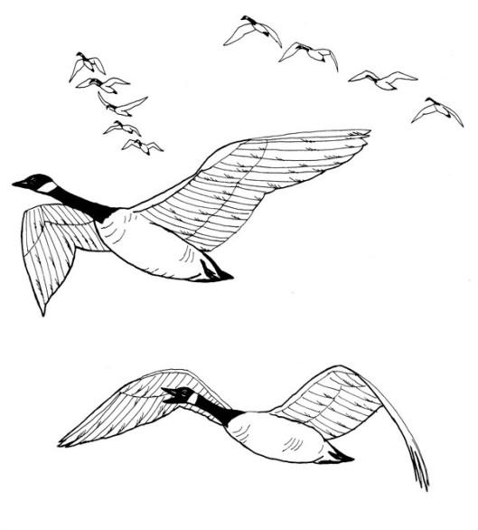 CPBD-Canada Goose-TR.jpg