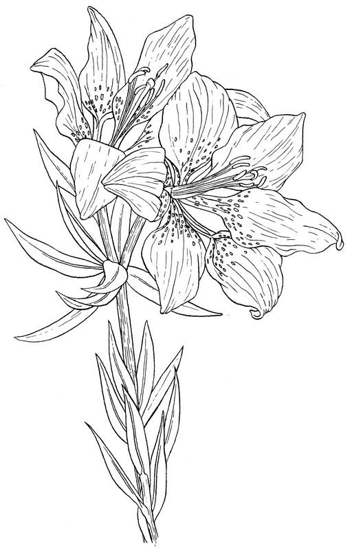 CPFL-Western Red Lily-TR.jpg