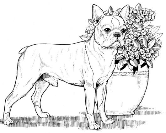 CPDG-Boston Terrier-TR.jpg